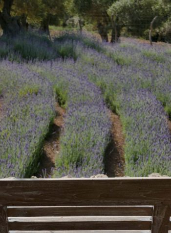bench-looking-over-rows-of-lavender